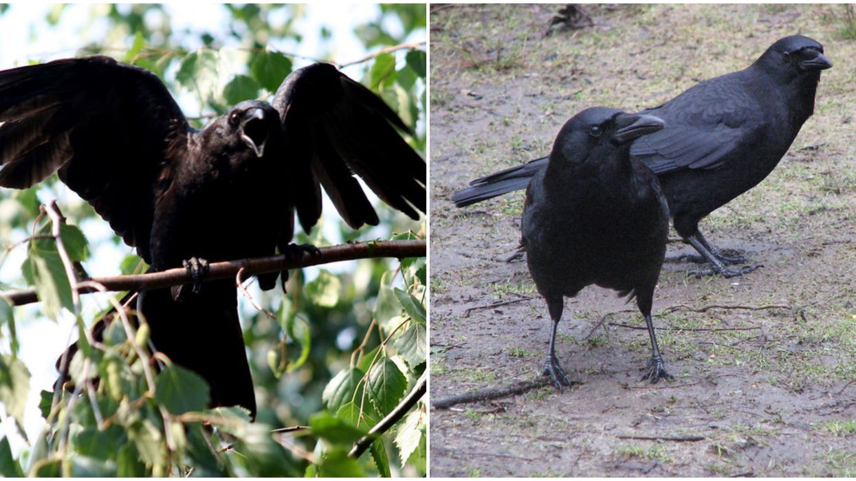 Crows In Vancouver Are On Their Annual Rampage & Divebomb People Who Get Too Close