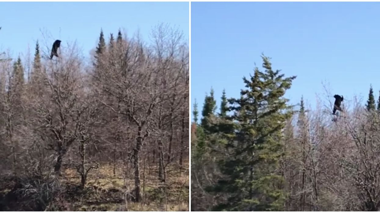 Ontario Bear Video Shows The Creature Roaming Tree Tops & Practicing Acrobat Skills