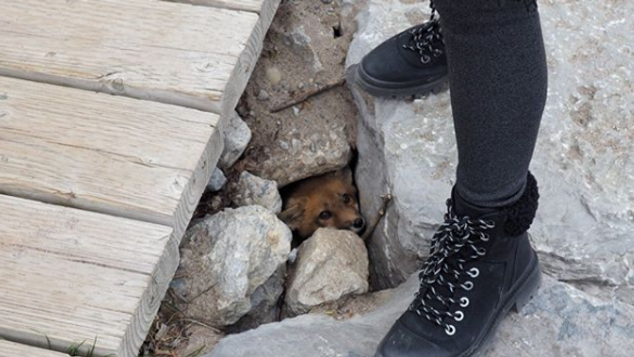 Baby Toronto Fox Was Killed In A Suspected Dog Attack Last Weekend