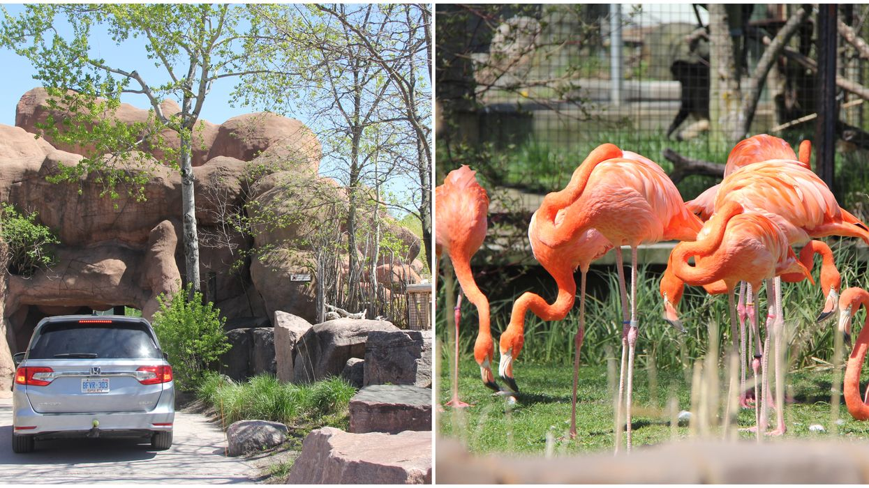 Toronto Zoo's Drive-Thru Experience Officially Opens Saturday & Here's A First Look
