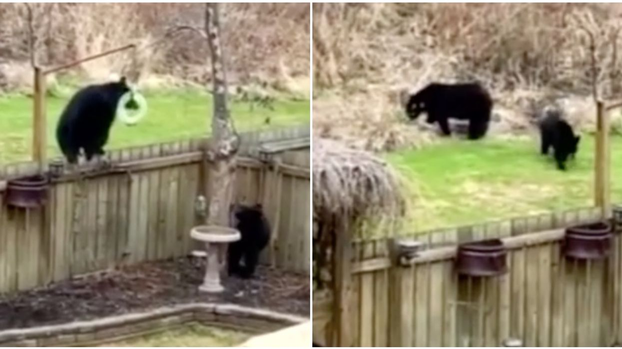 2 Alberta Black Bears Got Caught Playing With A Someone's Wind Chimes (VIDEO)