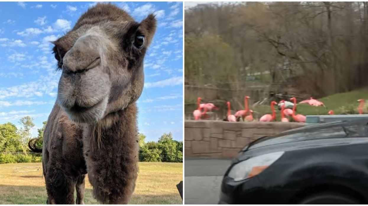 Toronto Zoo's Scenic Safari Ticket Portal Crashed On Day 1 Due To Ridiculous Demand