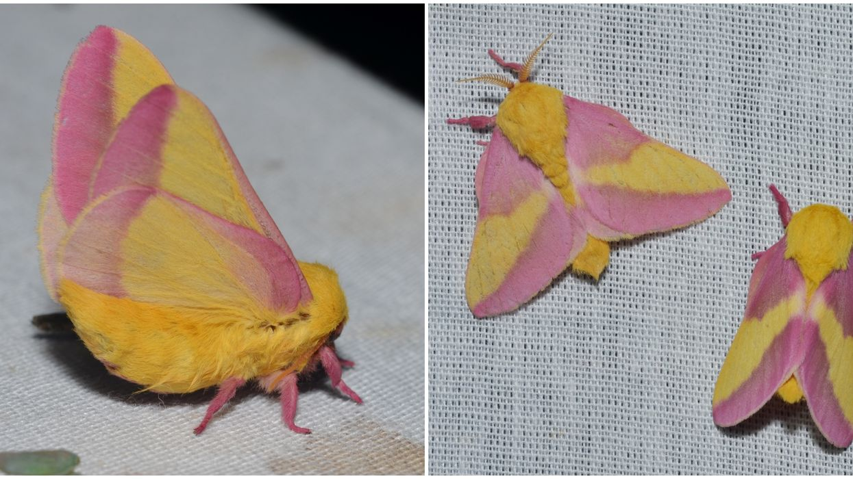 Pink And Yellow Moths In Ontario Keep Showing Up And They Look So Unreal