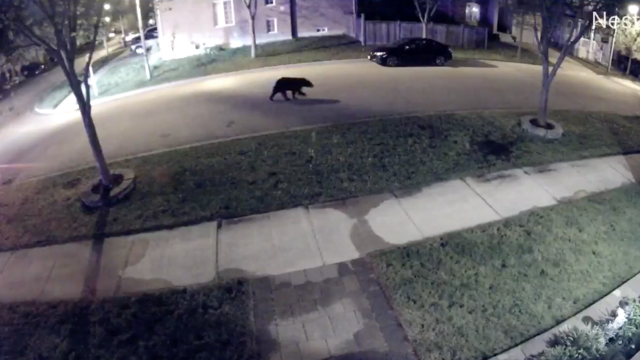 A Black Bear Was Caught Roaming Around The Streets Of Markham Last Night (VIDEO)