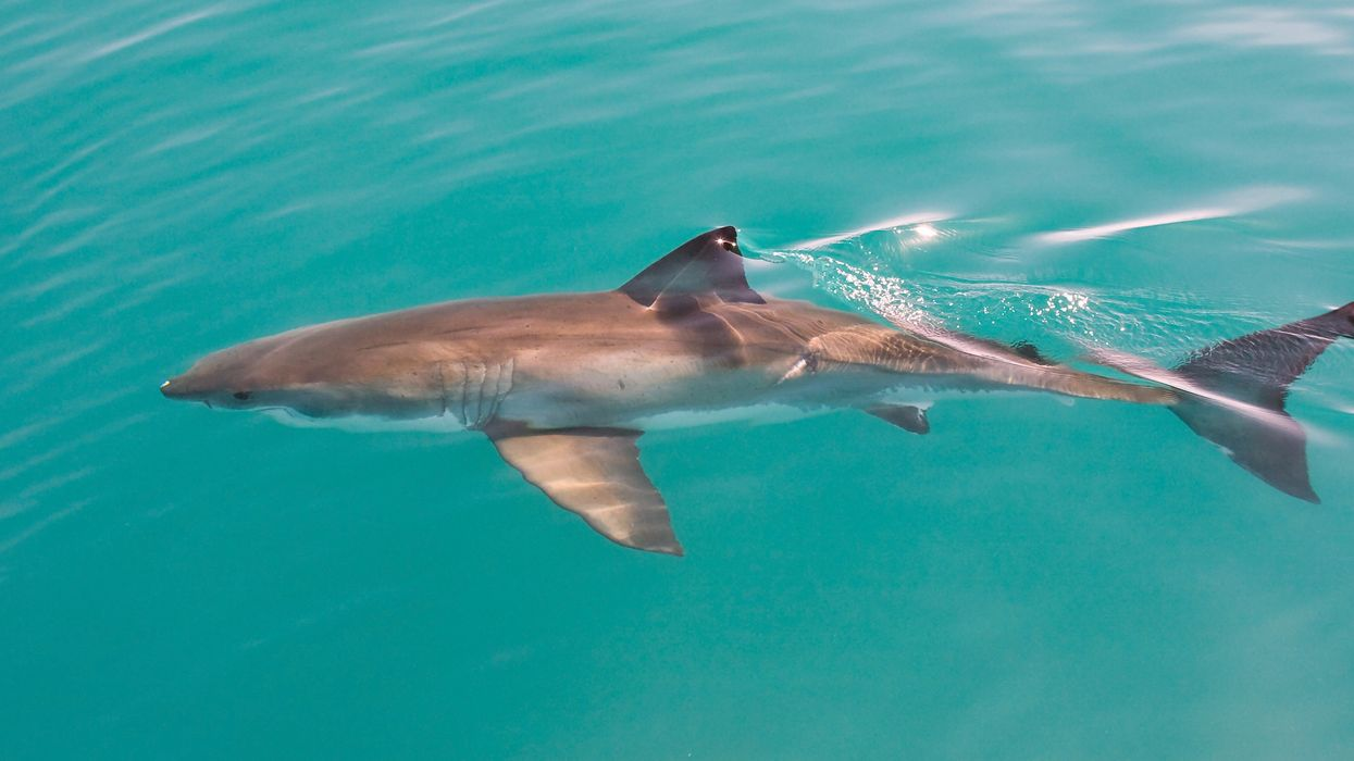 Great White Spotting In California Prompted Shark Warning Signs (VIDEO)