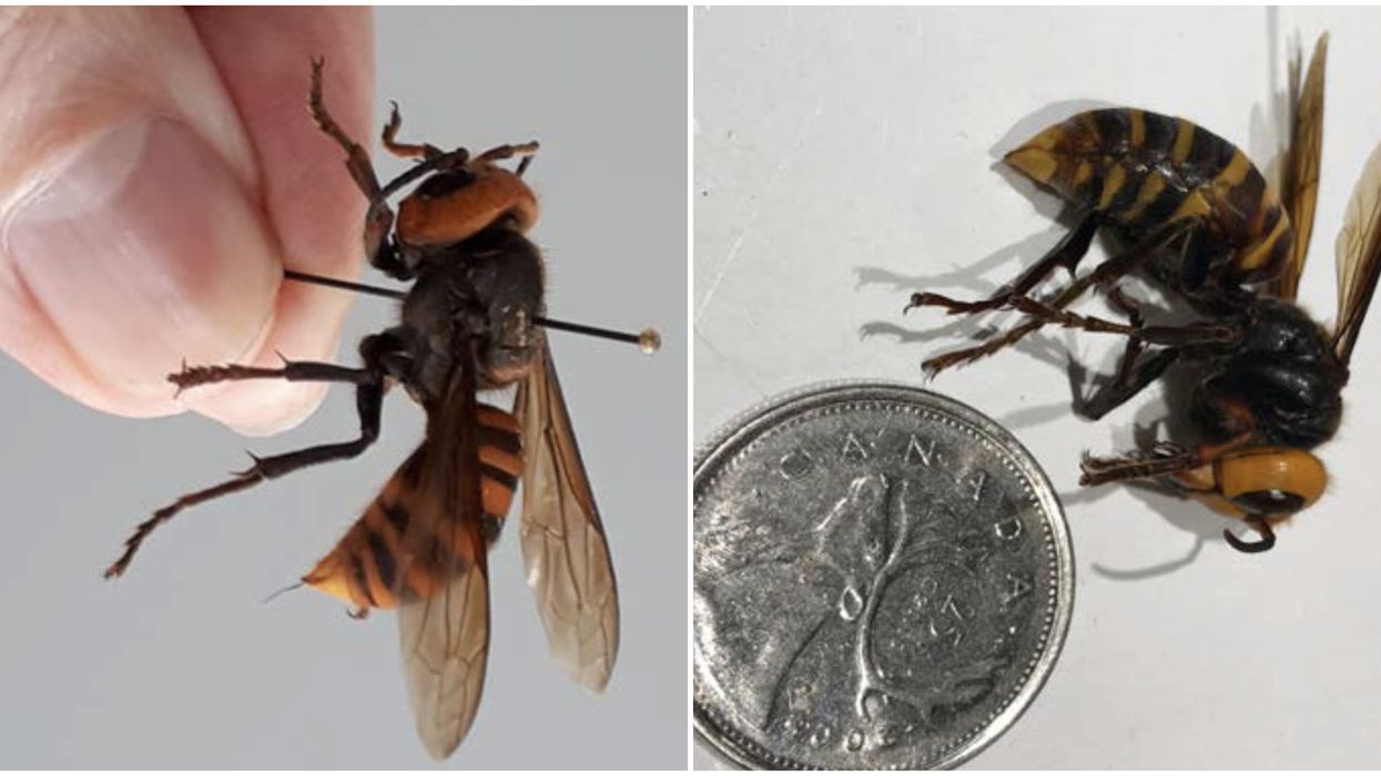 BC 'Murder Hornet' Was Discovered Near Vancouver & It's The First Of This Year