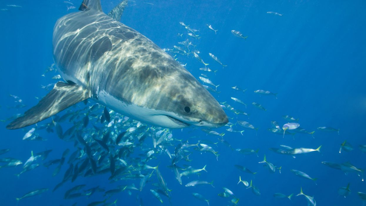 Great White Sharks Swarming North Carolina's Coast Are Huge Right Now