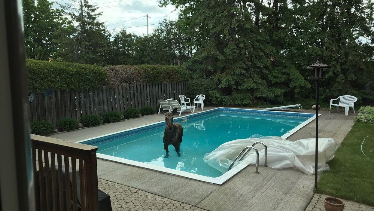 Moose In Ottawa Went For A Swim In Someone's Backyard Pool