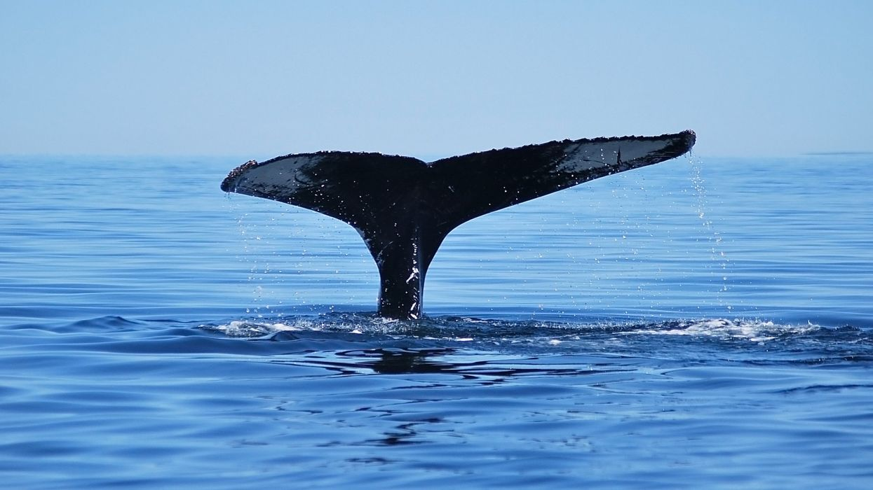 Une baleine à bosse dans le fleuve Saint-Laurent à Montréal (PHOTOS)