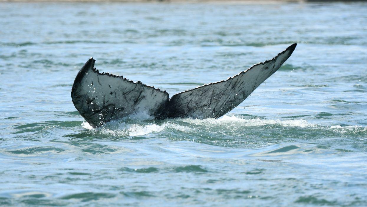 La baleine de Montréal aurait été frappée par un bateau