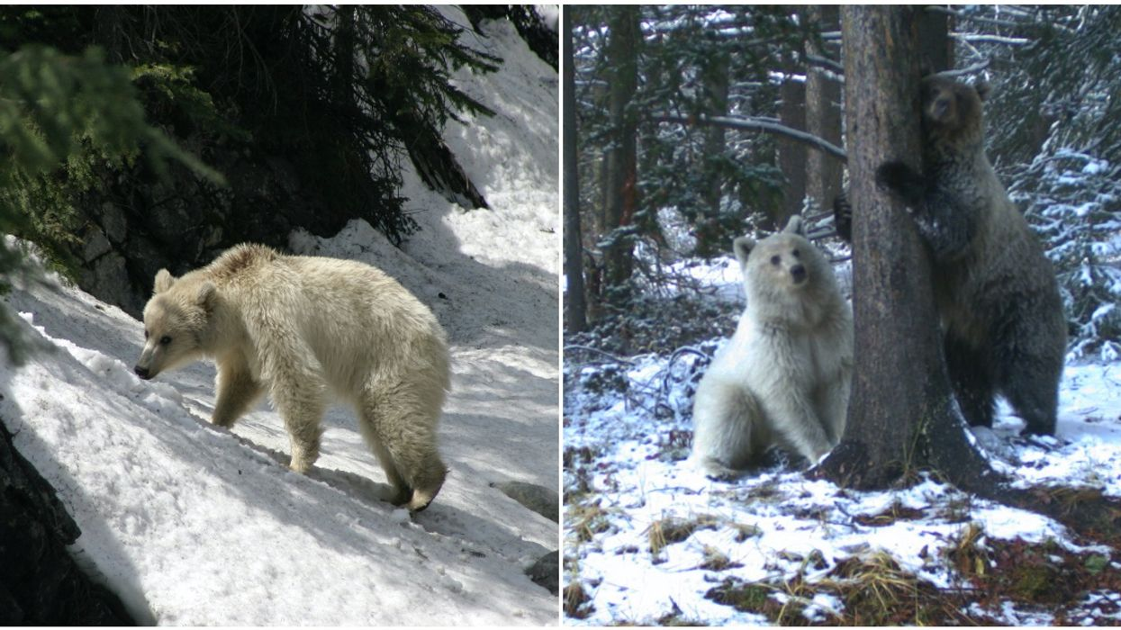 Rare White Grizzly Was Spotted In Banff & It's So Magical (PHOTOS)