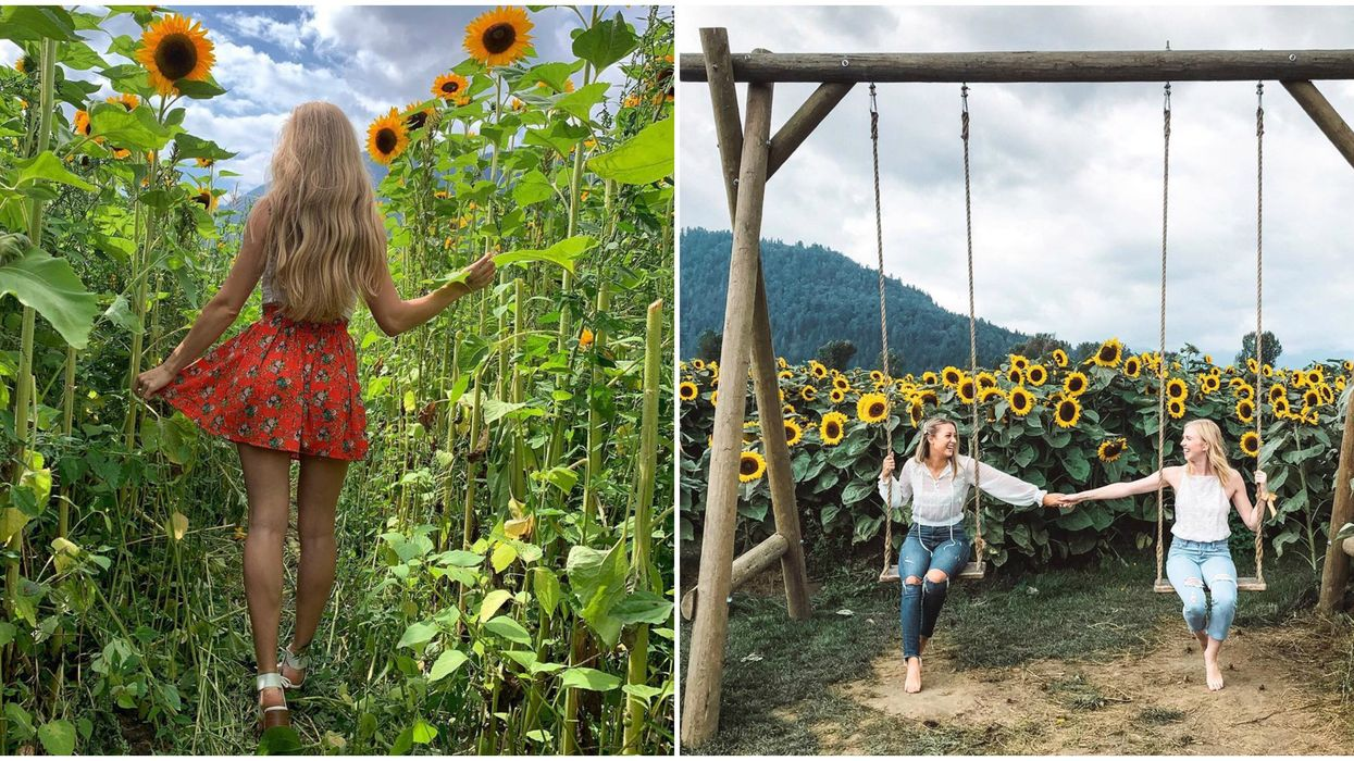 Sunflower Fields Near Vancouver Are Officially Opening This Summer