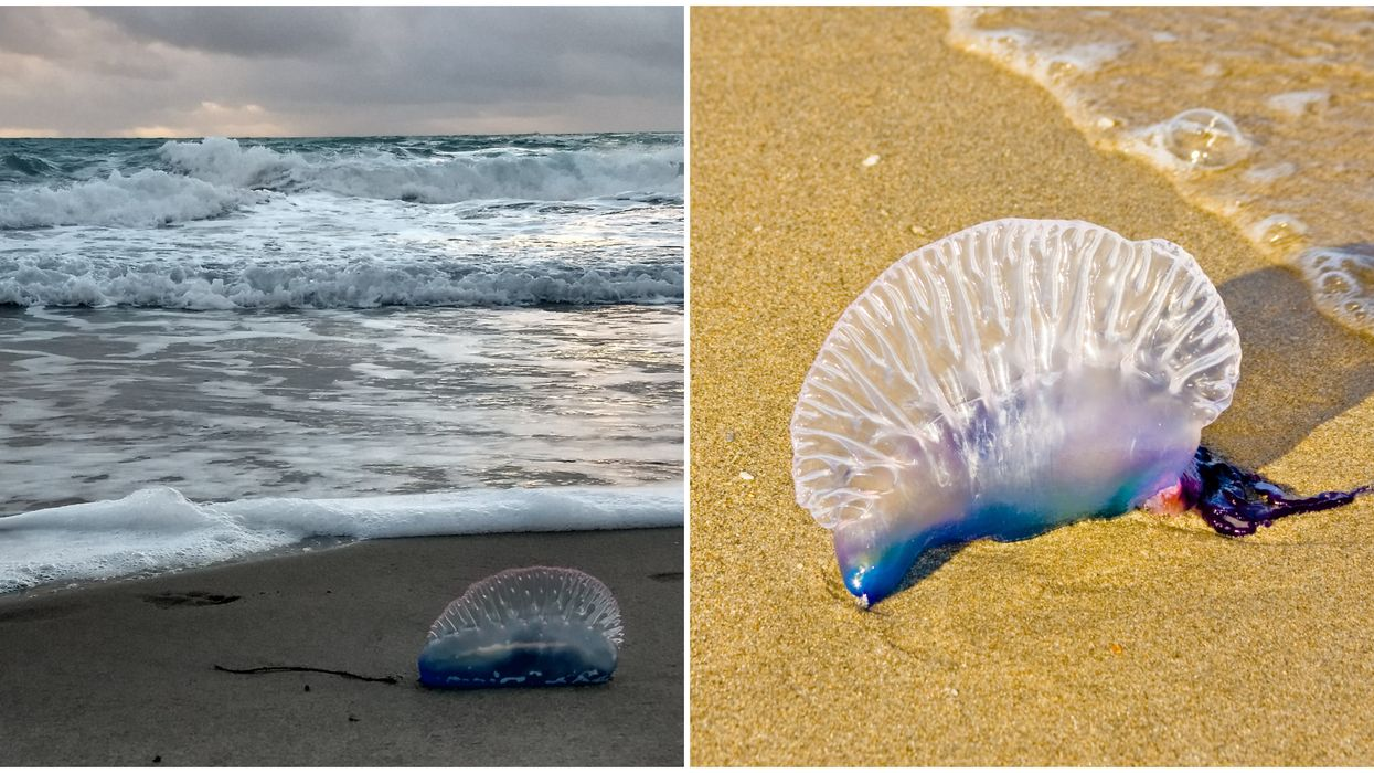 Portuguese Man O Wars Washing Up On Florida East Coast Beaches This Week