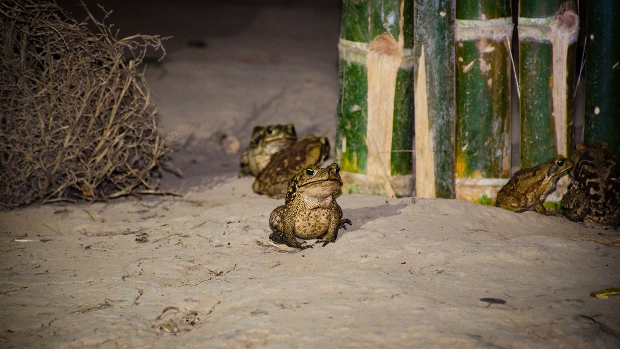 Toxic Cane Toads In Florida Reappear Thanks To Heavy Rain This Hurricane Season