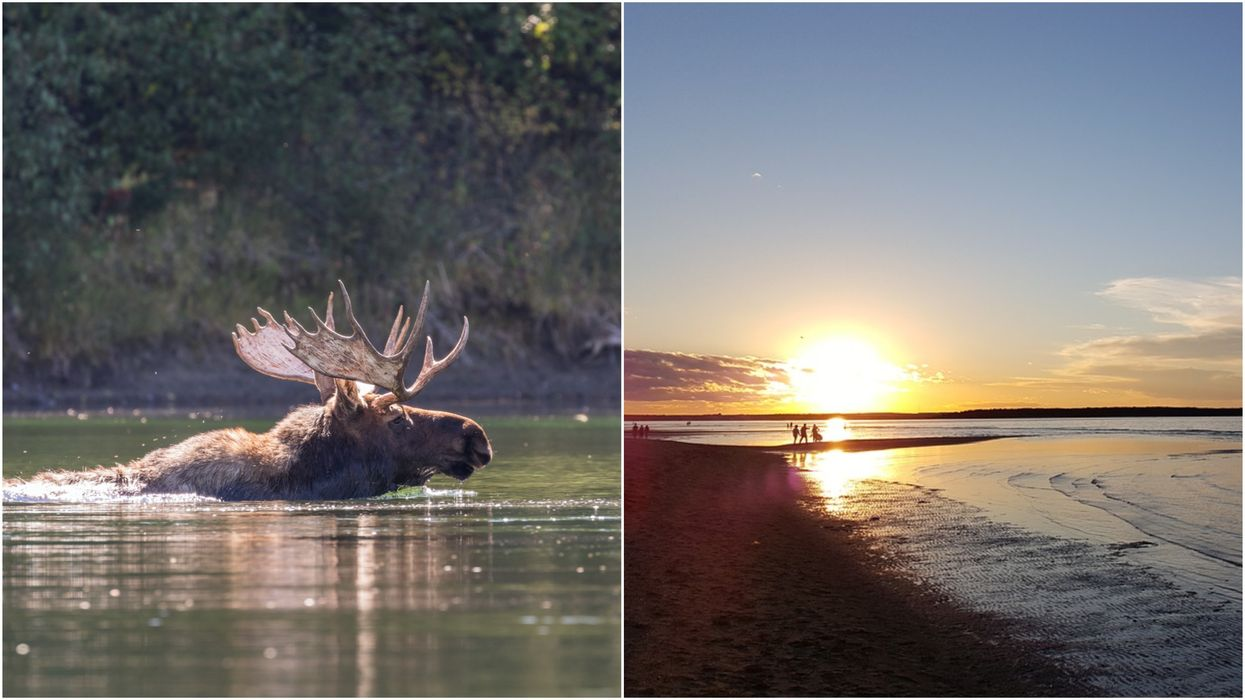 A Moose In New Brunswick Drowned After Swimming 500 Metres Into The Ocean