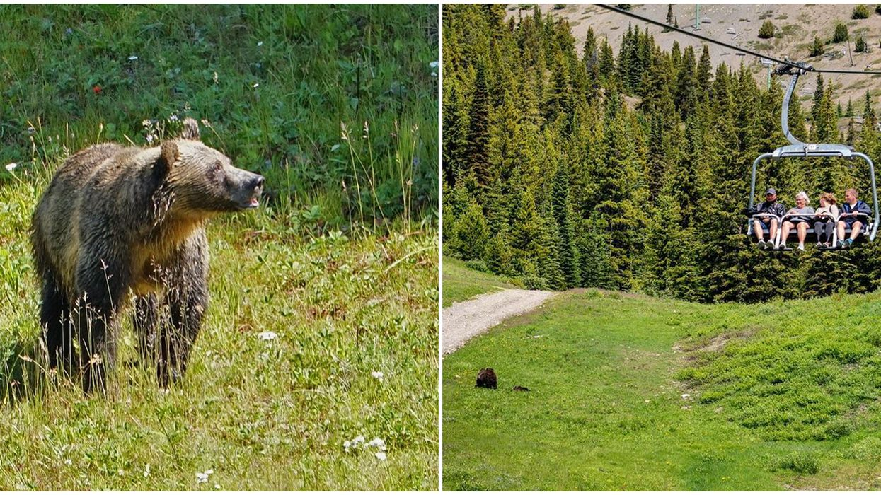 Gondola In Alberta Takes You Soaring Over Grizzly Bears This Summer (VIDEO)