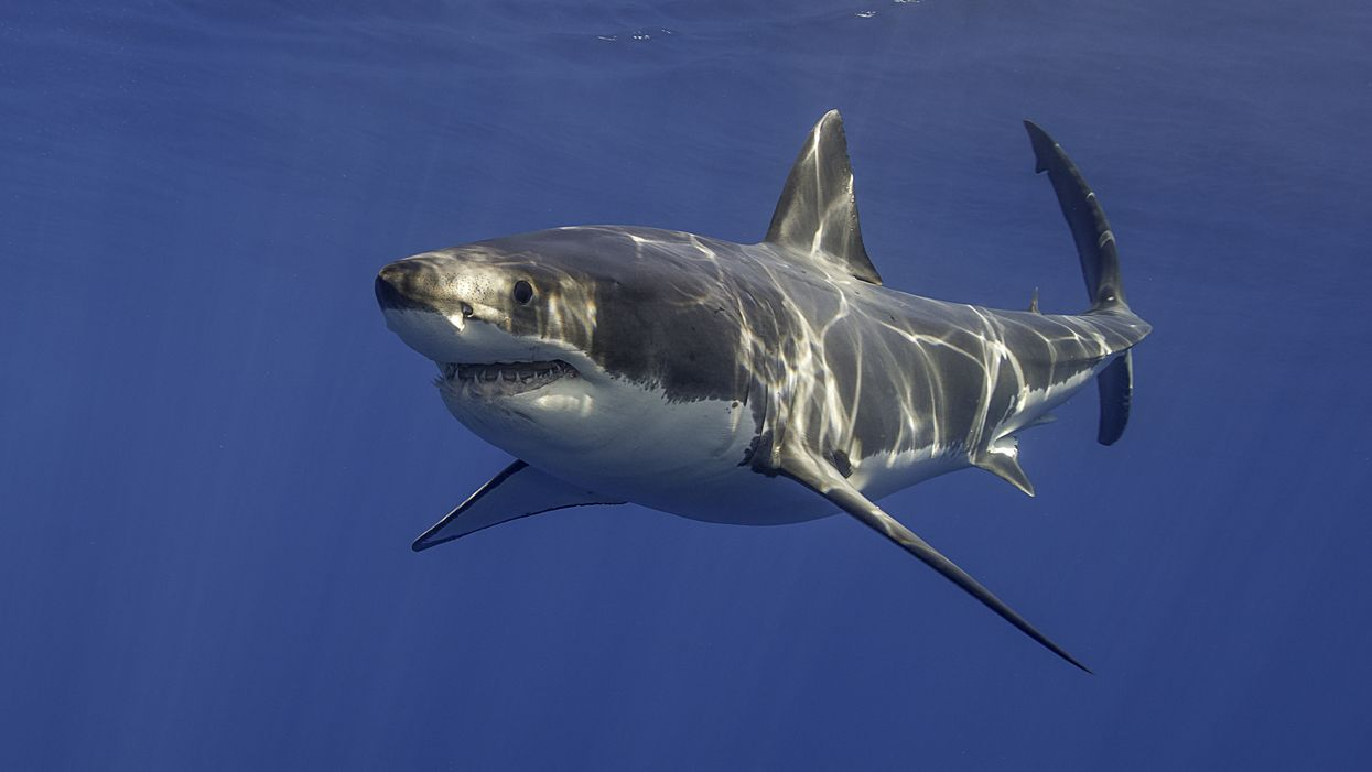 Two North Carolina Great White Sharks Swimming Near Coast Right Now Are Massive