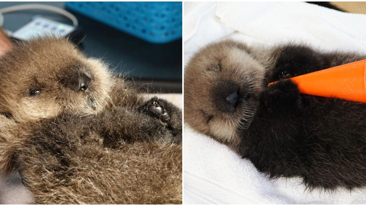 The Vancouver Aquarium Just Rescued An Orphaned Otter Baby & We're Screaming (PHOTOS)