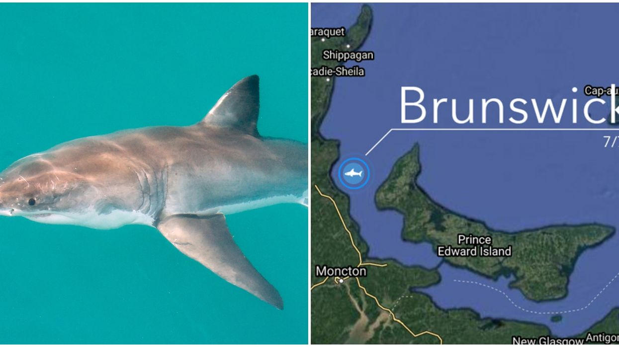 A Great White Shark Was Caught Hanging Out Around New Brunswick & PEI