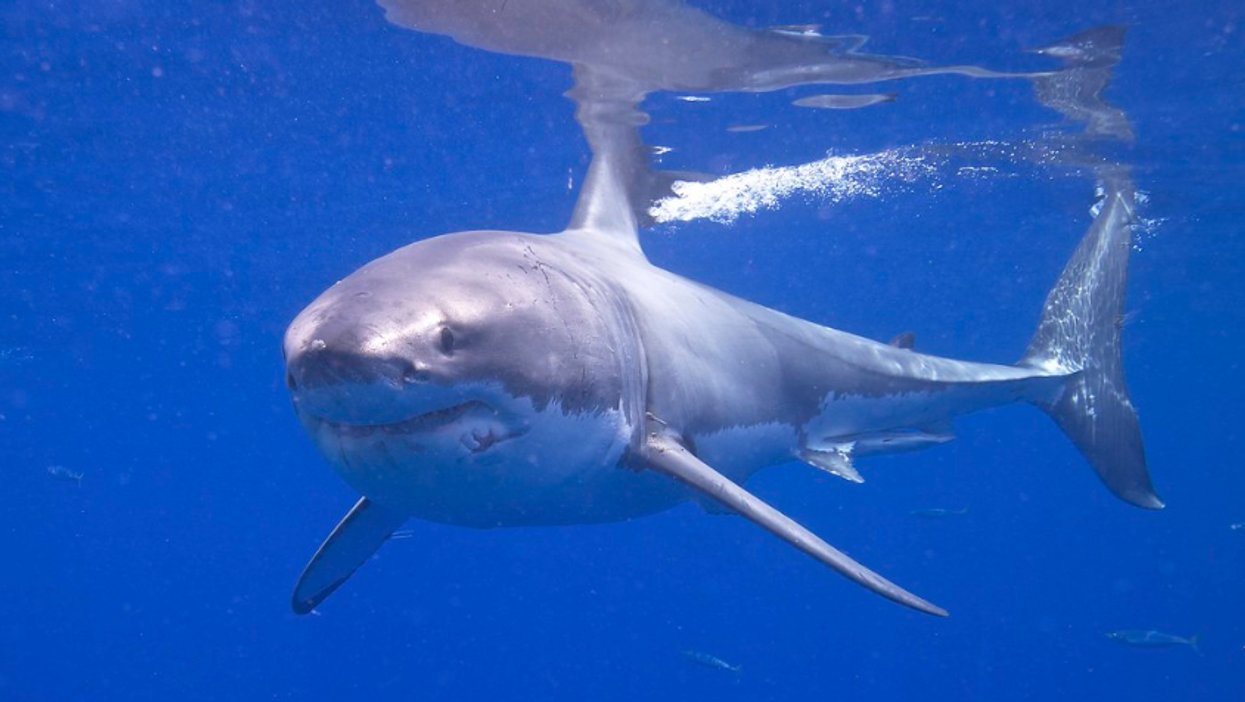 Ocearch : Brunswick le requin blanc aperçu au large du Nouveau-Brunswick