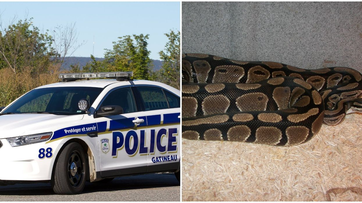 Gatineau Police Are On The Hunt For An Escaped Python