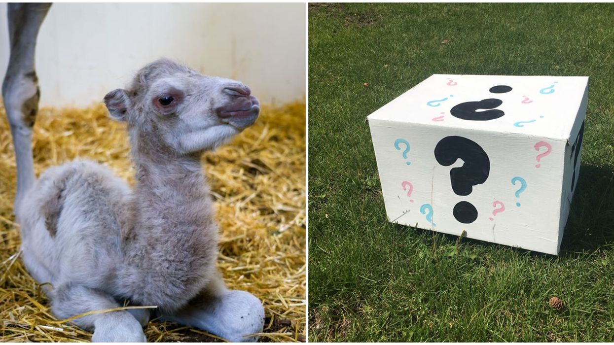 Edmonton Valley Zoo's Camels Just Had A Baby & They're Throwing A Gender Reveal (VIDEO)