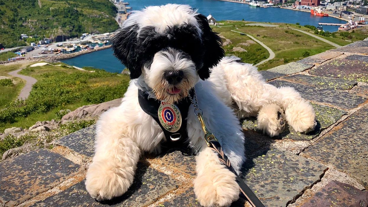 Royal Newfoundland Constabulary Dog Is Newest Recruit & She Has Her Own Twitter