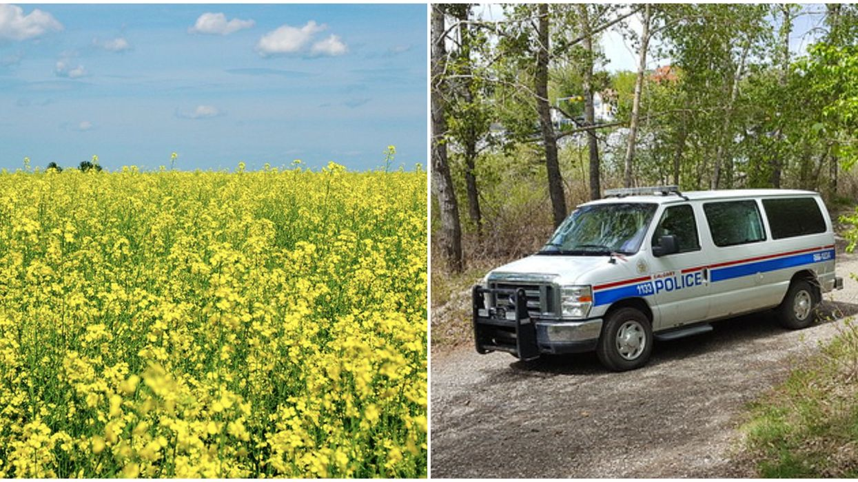 Canola Theft Near Calgary Is Reportedly Ruining Entire Fields & It's The Most Albertan Crime
