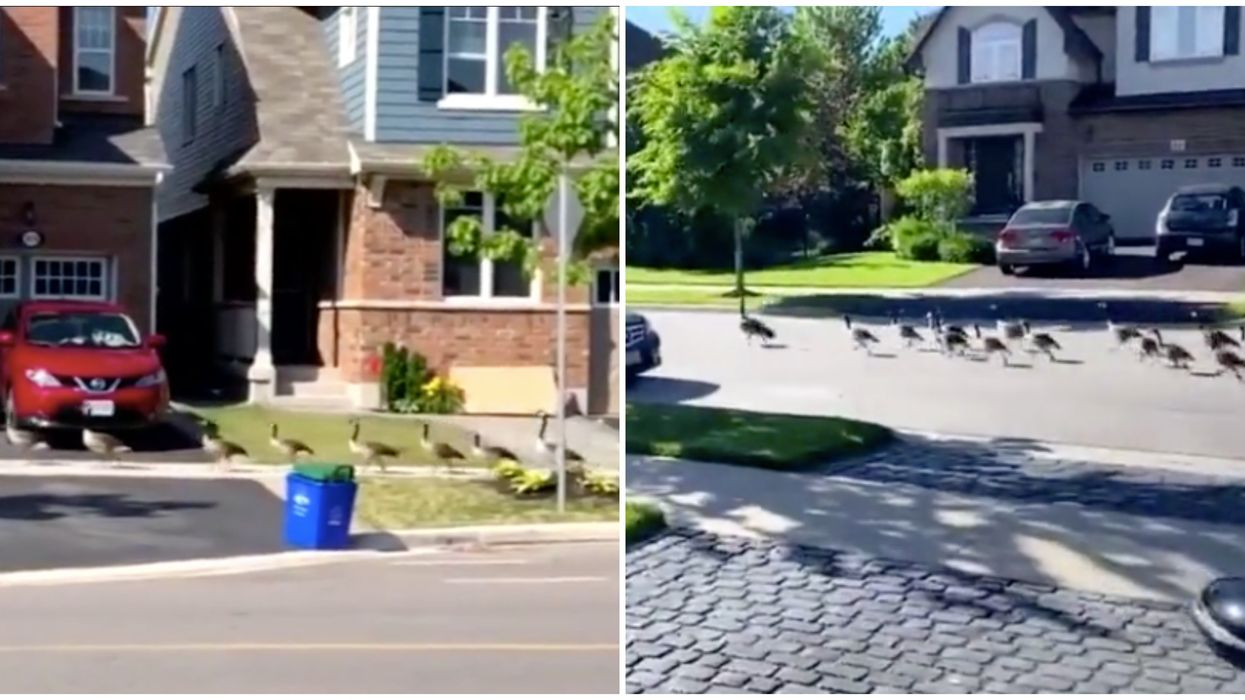Canada Geese In Ontario Keep Stomping Through The Streets (VIDEOS)