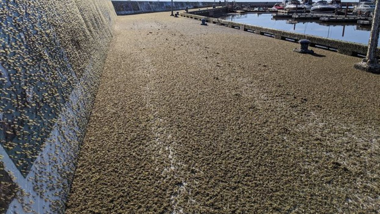 A Manitoba Waterfront Was Taken Over By Swarms Of Dead Fish-Scented Bugs (PHOTO)