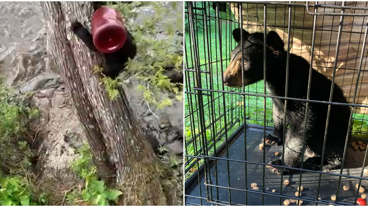 An Ontario Bear Cub Stuck In A Bucket Sent Two Men On A Wild Rescue Chase