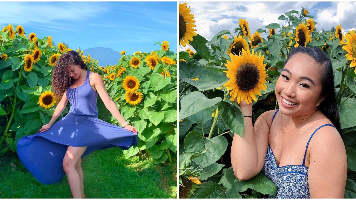 Chilliwack Sunflower Festival Is Back Next Month With A 3-km Path Of Golden Blooms