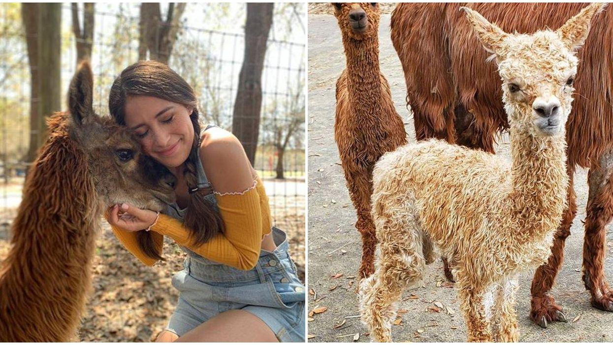 LunaSea Alpaca Farm Near Orlando Let's You Cuddle With The Cutest Baby Alpacas For $10