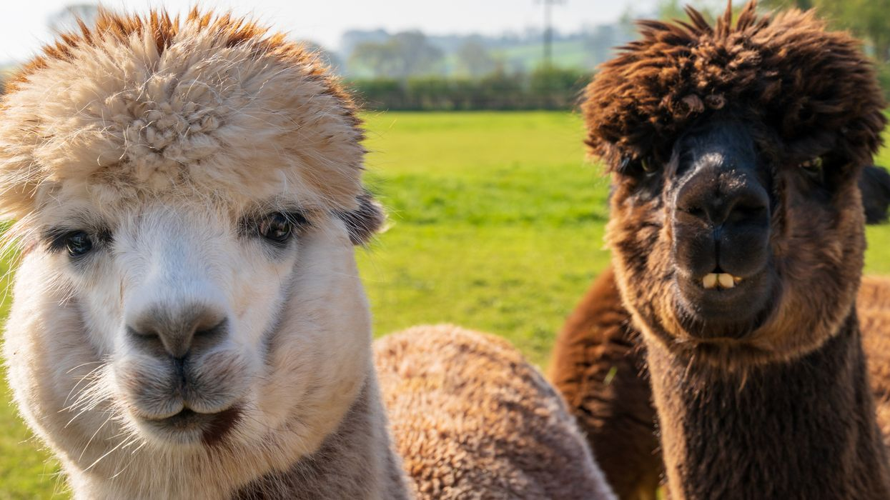 These Canadian Alpacas Chilling In A Kiddie Pool Is What The World Needs Today (VIDEO)