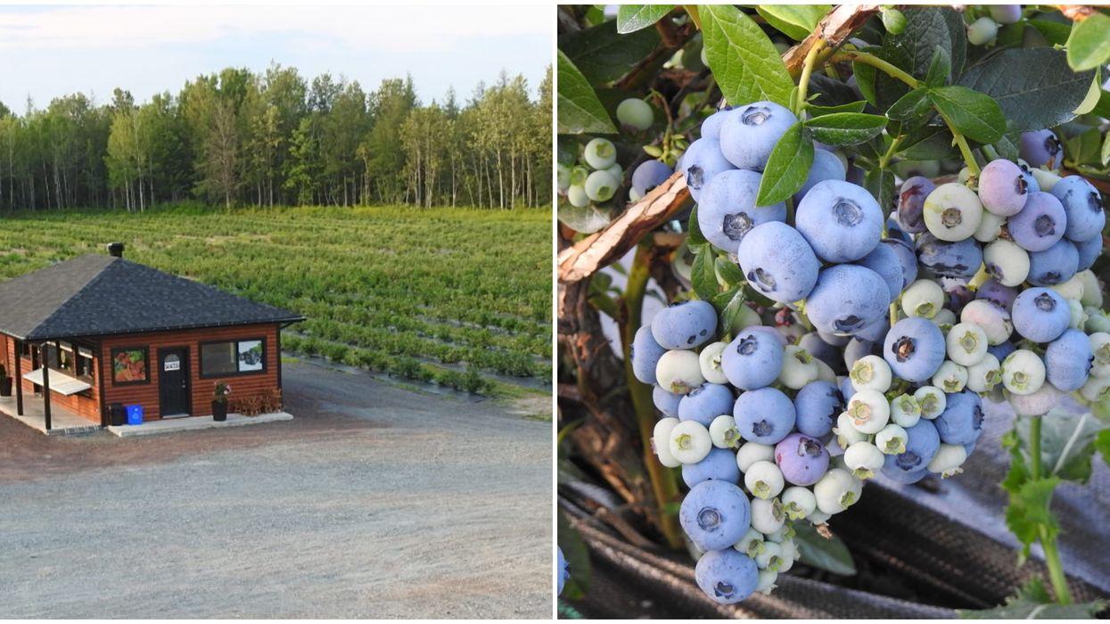 Tu peux cueillir des bleuets gratuitement dans ces champs près de Québec et voici quand
