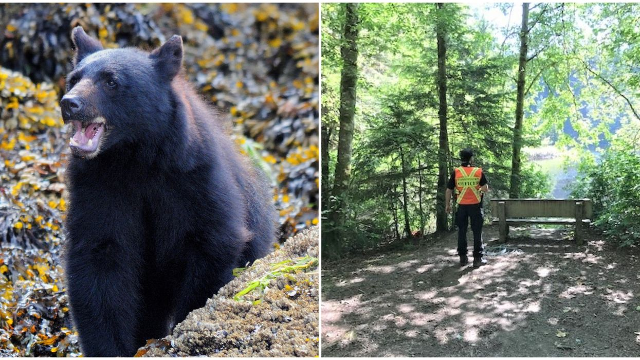 Metro Vancouver Bear Attack: Black Bear Wanted After Biting A 10-Year-Old In Popular Park