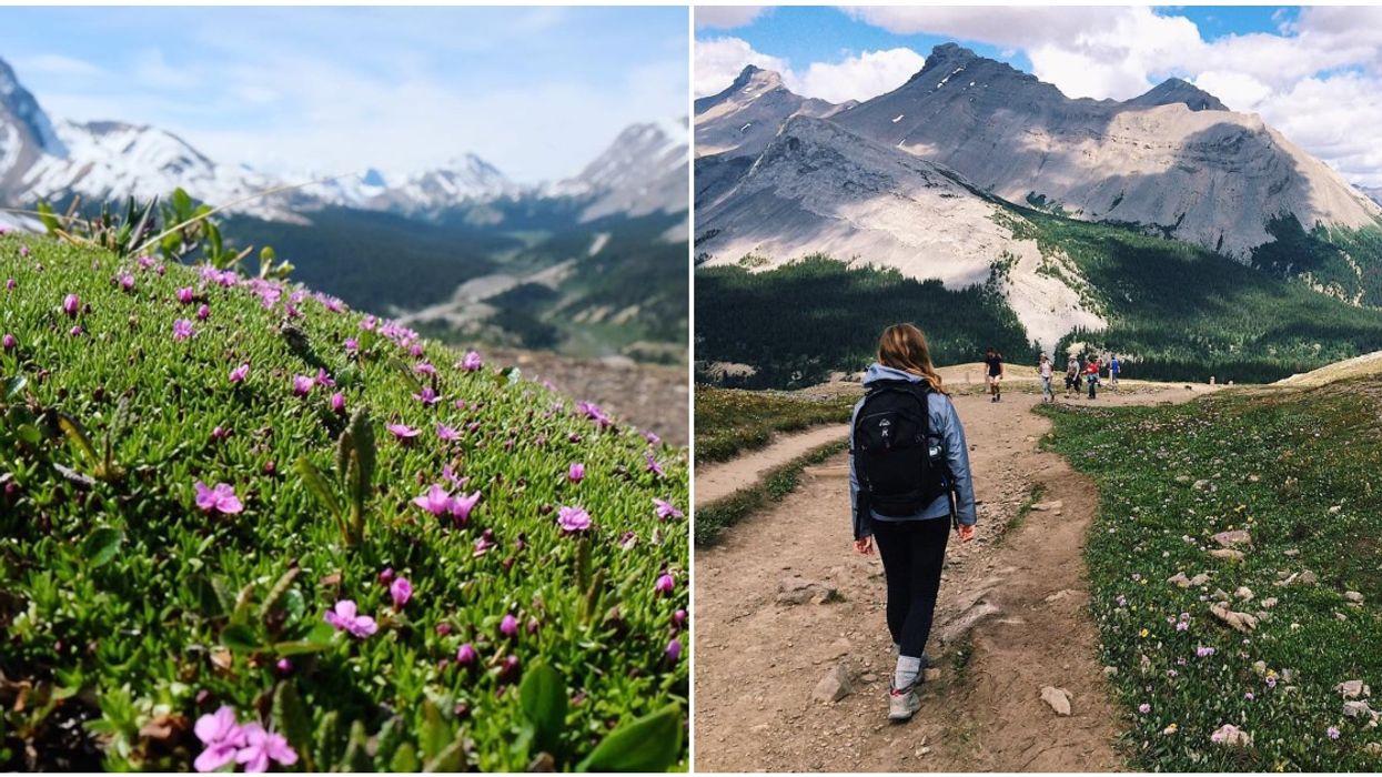 Parker Ridge Trail In Alberta Is A Wildflower Heaven With The Best Views Around