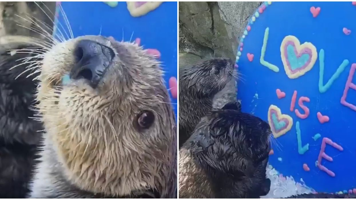 3 Otters At The Vancouver Aquarium Celebrated Pride In The Most Adorable Way (VIDEO)