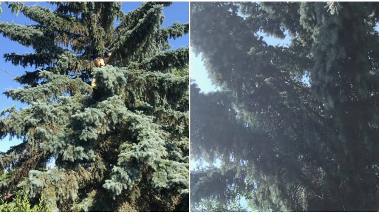 Chicken Stuck In A Tree Causes Edmonton Fire Fighters To Come To The Rescue