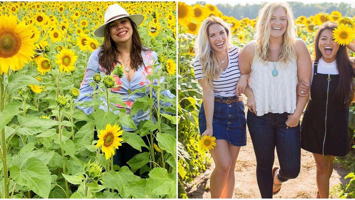 Sunflower Fields Near Toronto That Will Turn Your World Golden