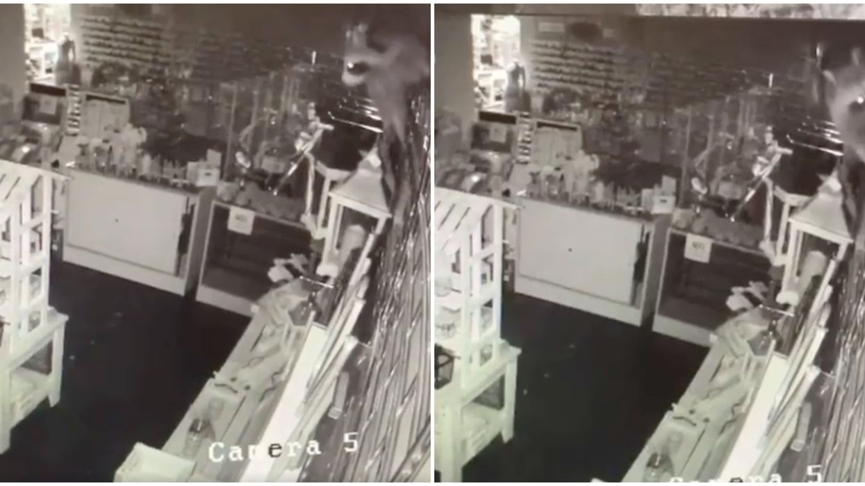 Toronto Raccoon Video Shows The Creature Robbing A Store & Leaving It In Shambles