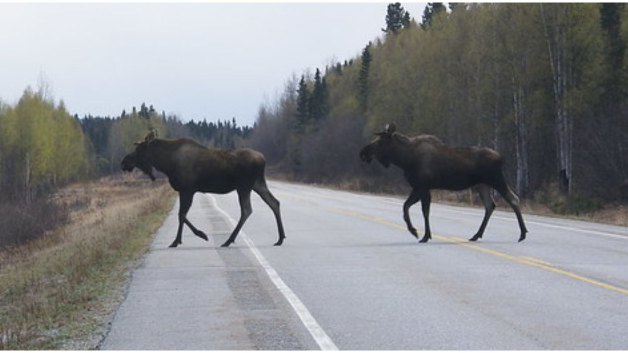 Cars Crashing Into Moose In Alberta This Weekend Caused A Fatality
