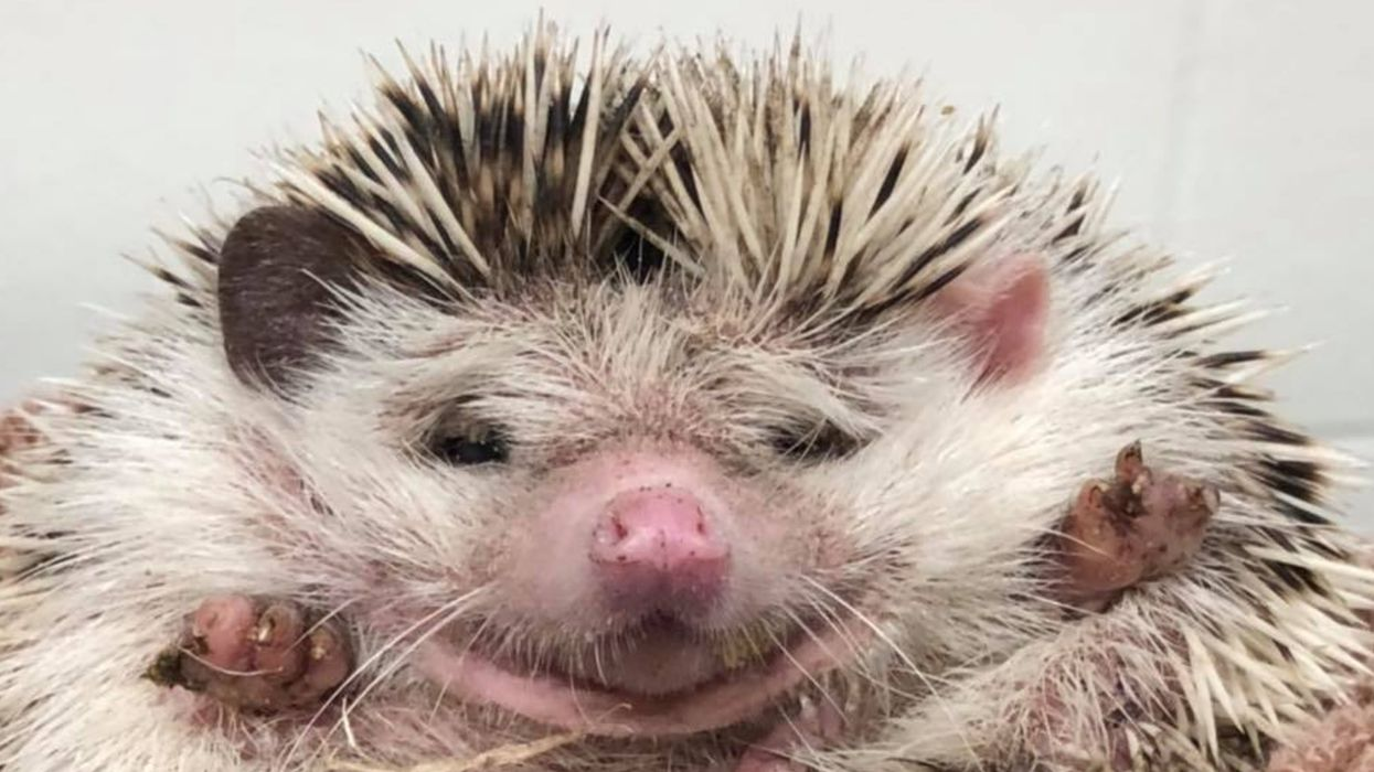 Abandoned Hedgehogs In Metro Vancouver Were Almost Eaten By A Crow & There Could Be More