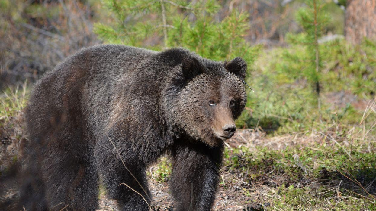 Canada's Toughest Bears Named 'The Boss' & 'Split Lip' Had An Intense Standoff (VIDEO)