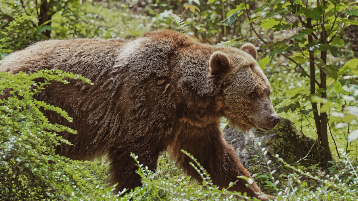 BC Bear Attack: A Grizzly Bit A Man In The Groin Yesterday