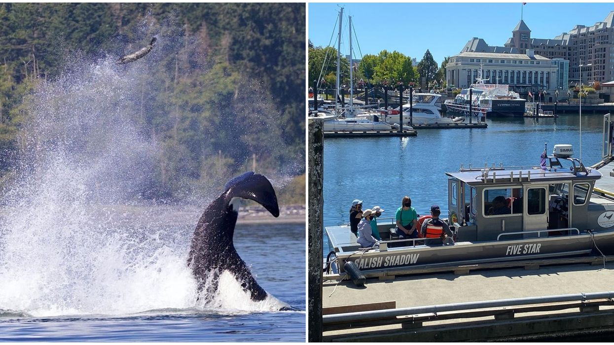 BC Orca Caught 'Punting' A Seal Sky-High In The Air By A Whale Watching Boat (PHOTOS)