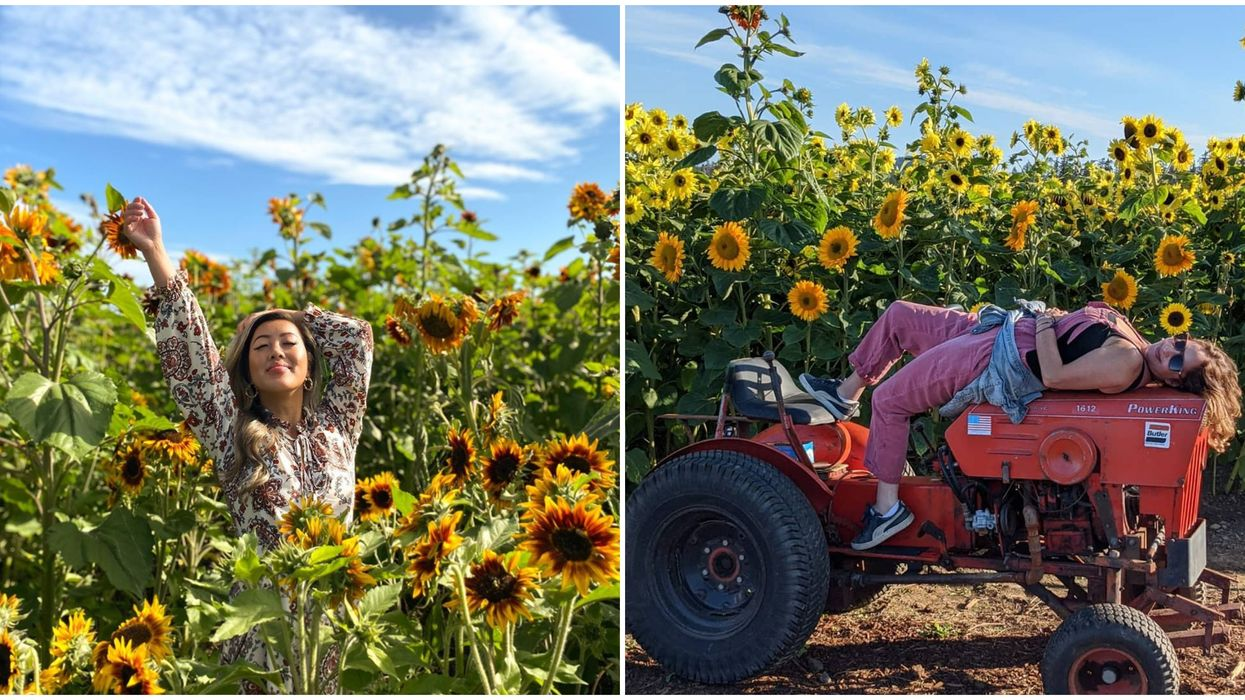 Sunflowers Close To Victoria: There's A Magical Flower Walk Blooming Now