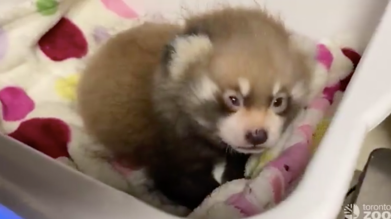 Toronto Zoo's Baby Panda Had The Most Adorable Struggle Waking Up This Morning (VIDEO)
