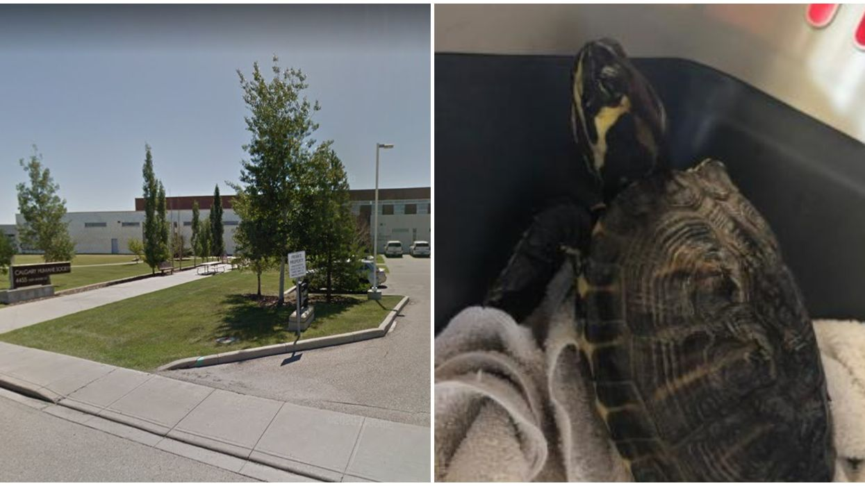 A Female Turtle Named Colonel Mustard Is Up For Adoption At The Calgary Humane Society