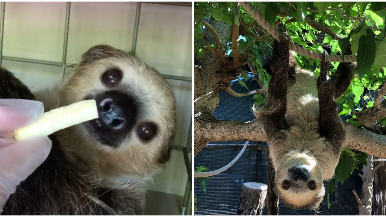 Phoenix Zoo's Sloth Fernando Fell Asleep Eating & It's A Great Problem To Have (PHOTO)